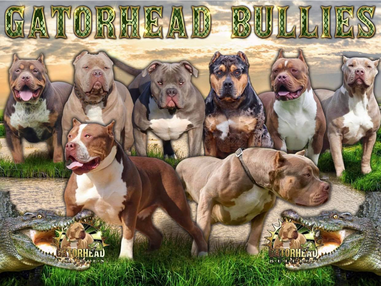 Gator Head Bullies Xl American Bullies French Bulldogs